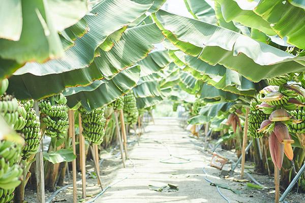 もちだファームのセラメイド(SERAMADE)は、青パパイヤと国産バナナの生産加工