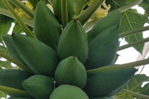 青パパイヤのパパイヤ酵素は美容と健康に良い