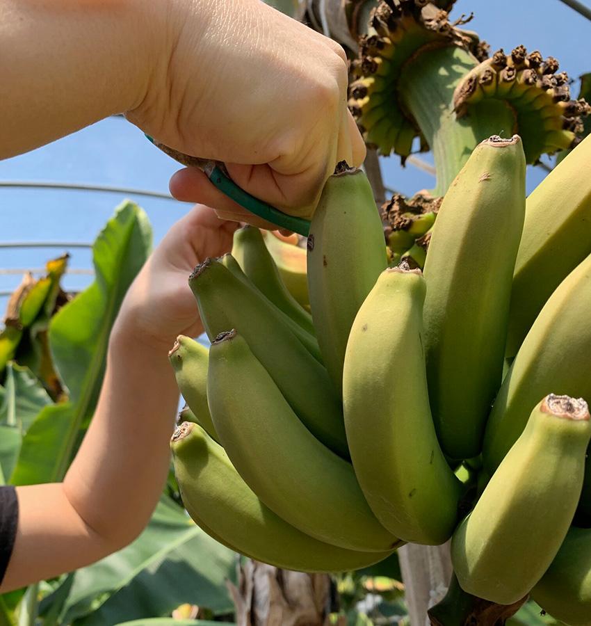 もちだ農園は広島県で国産のバナナを生産しています