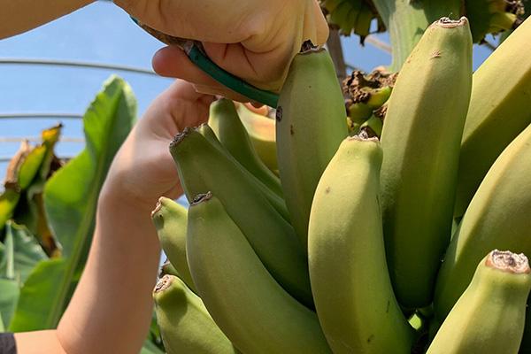 広島県世羅郡のセラメイド(国産バナナ)もちだ農園